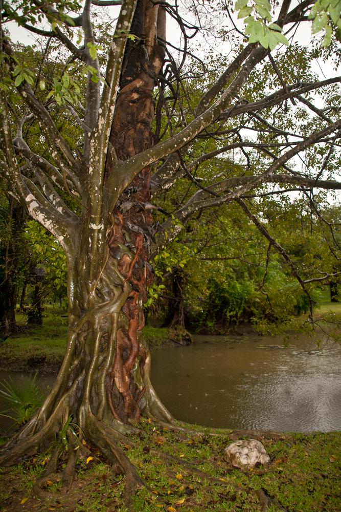 Arbol-en-Polonnaruwa