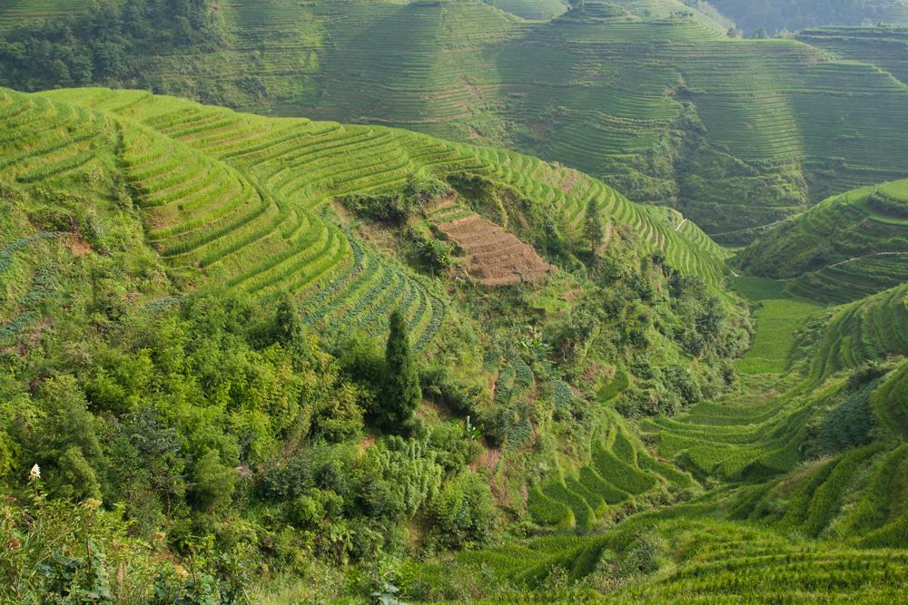 Cultura del arroz en Longjin