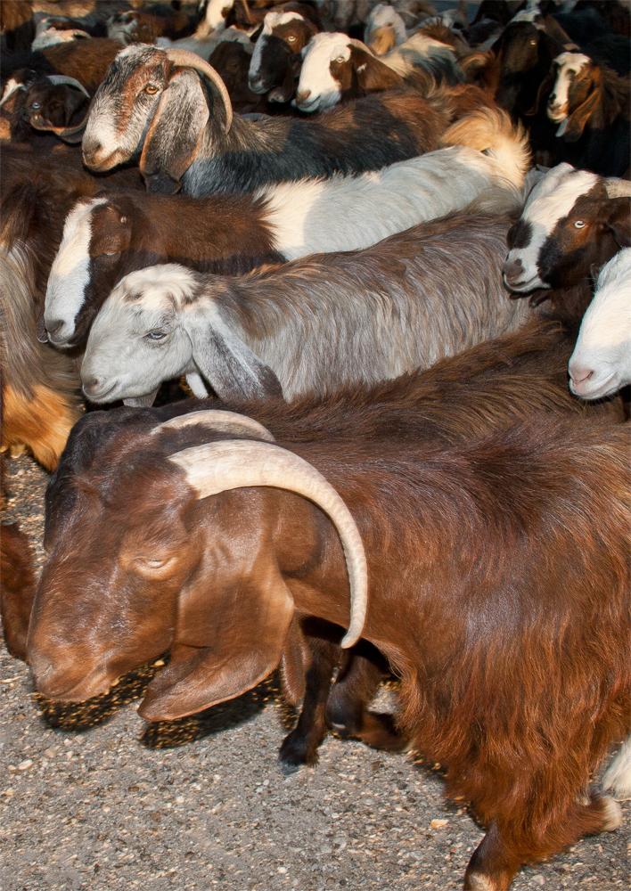 Cabras-de-la-familia-de-Namatah
