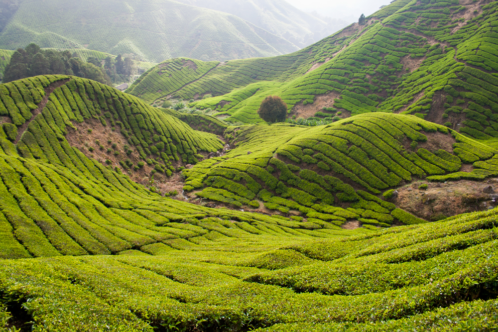 Cameron-Highlands-V