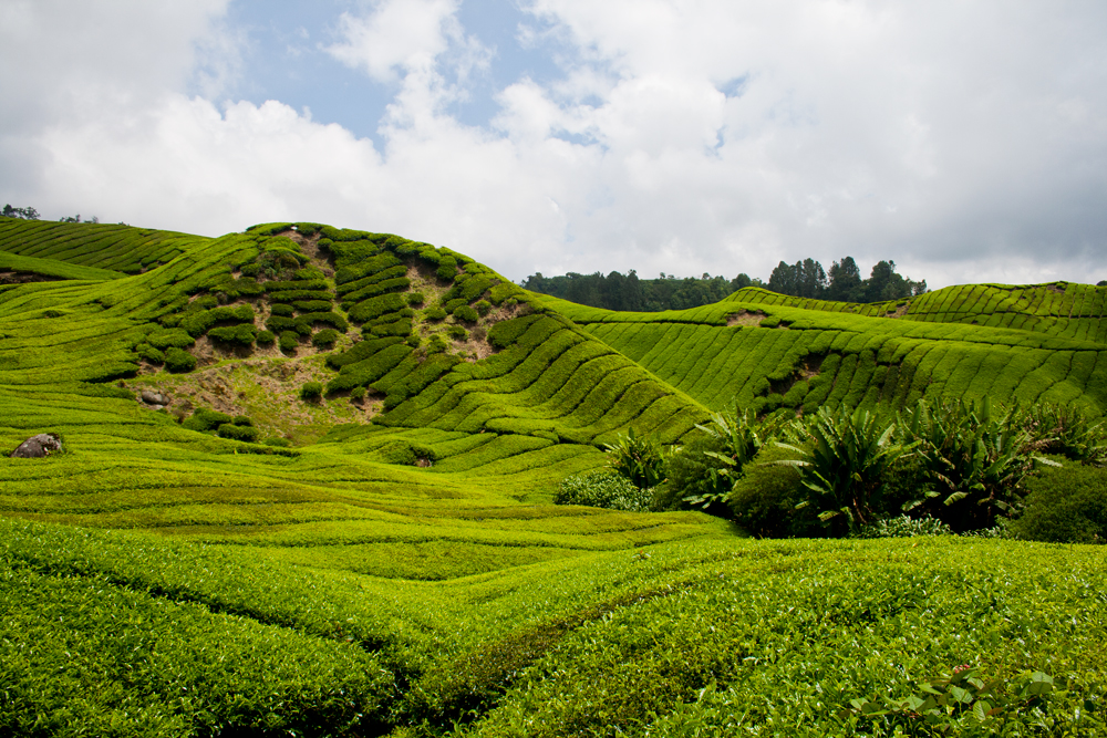 Cameron-Highlands-VII
