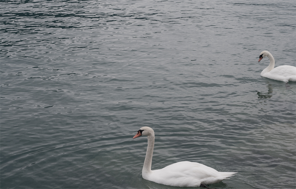 Cisnes-en-Interlaken