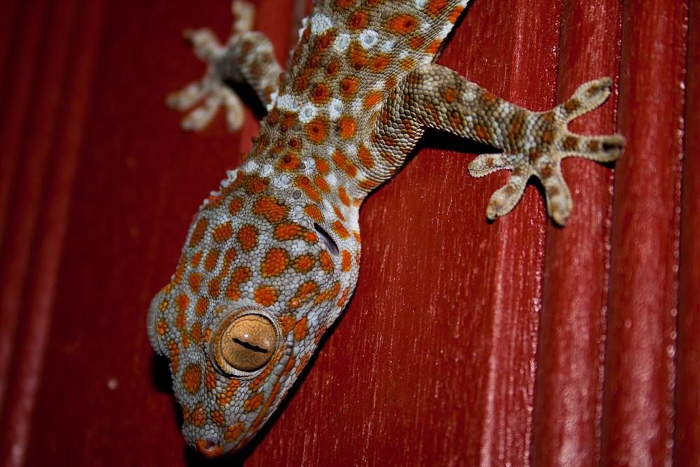 Colorido-gecko