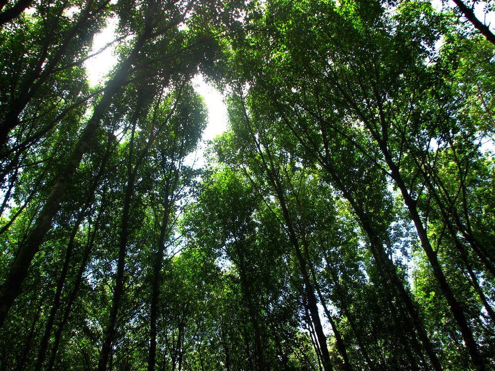 Copas-de-árboles