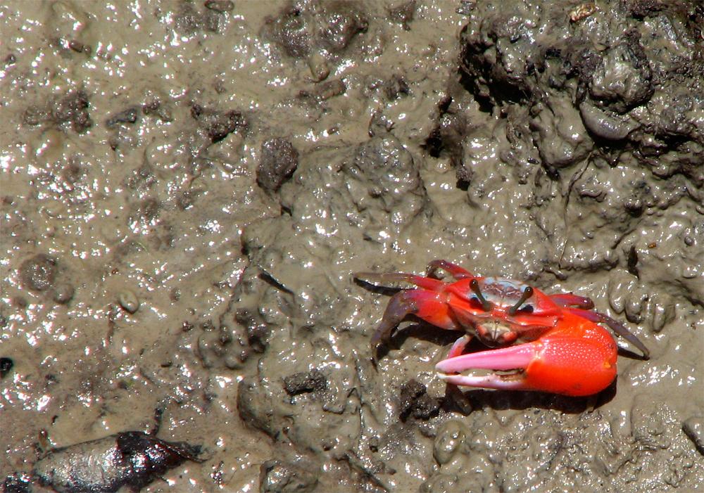 El-cangrejo-y-su-enorme-pinza