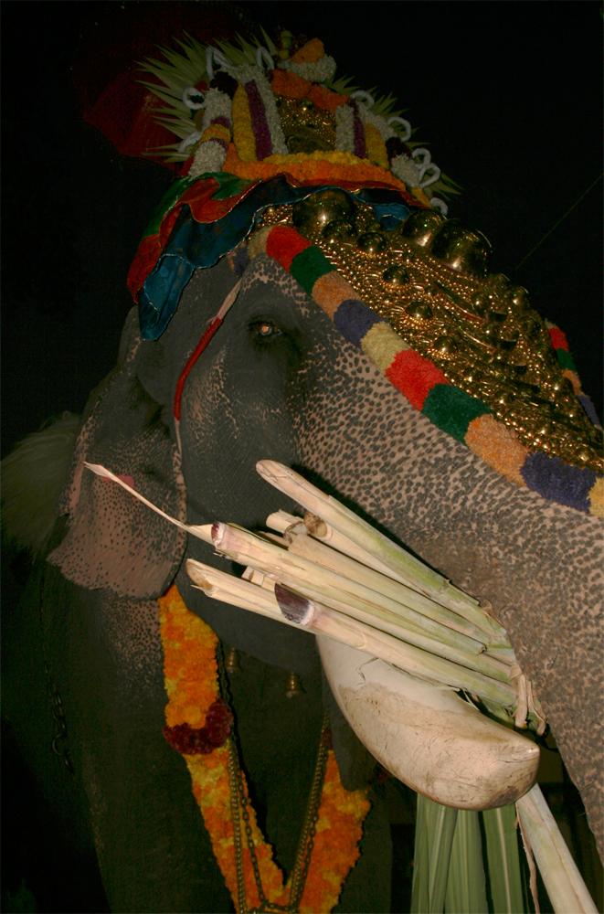 Elefante-comiendo