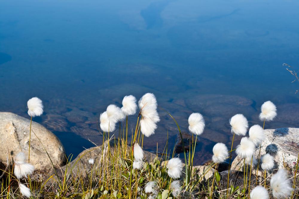 Flor-de-algodón