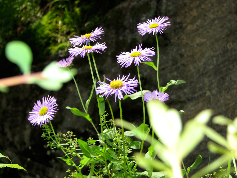 Flores-II