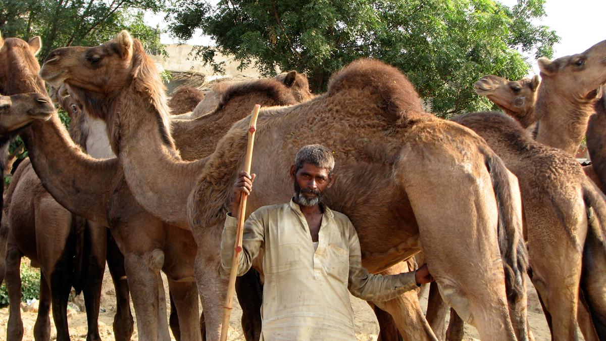Hacia-el-festival-de-camellos
