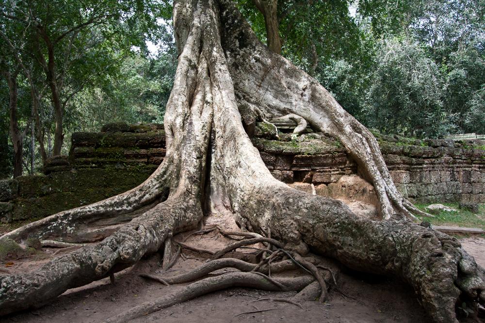 La-jungla-se-come-a-Angkor-VII