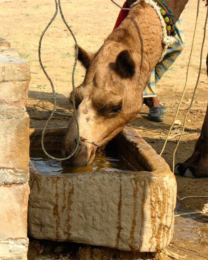 Los-camellos-también-beben