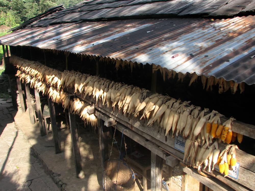 Maiz-secando