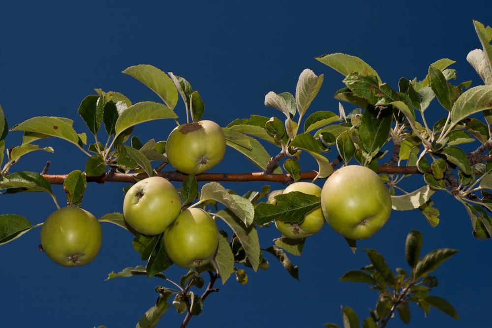 Manzanas-frescas