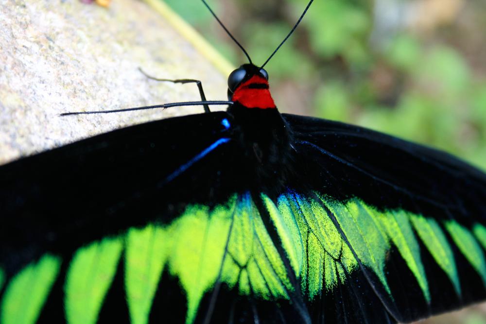 Mariposa-fosforescente