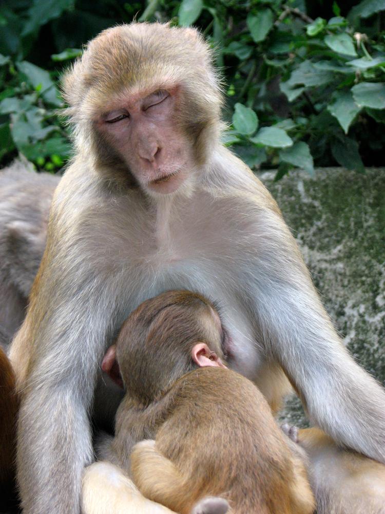 Monos-de-Swayambunath