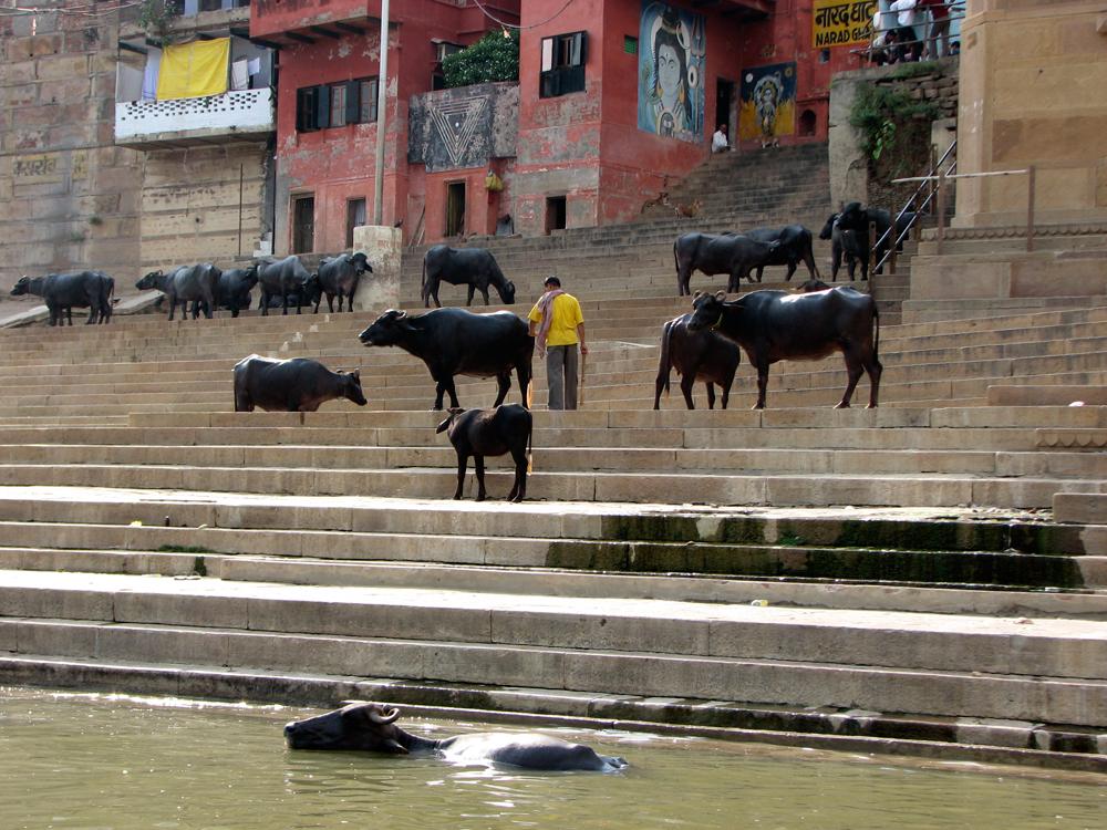 Omnipresentes-vacas