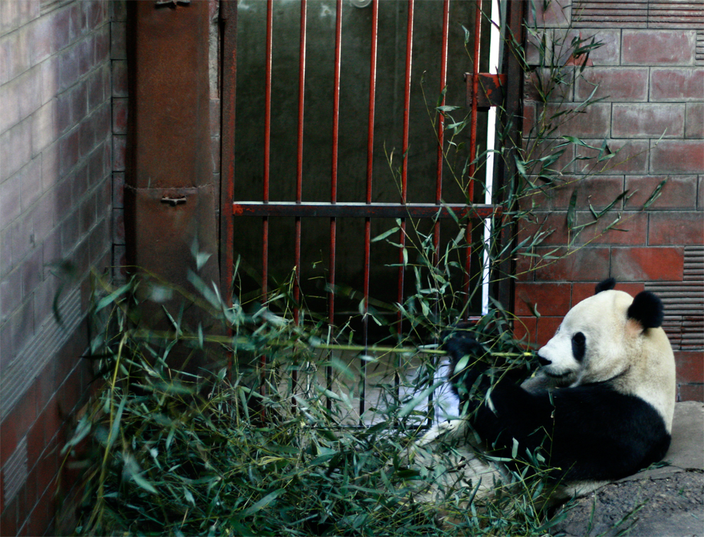 Panda-y-bambú