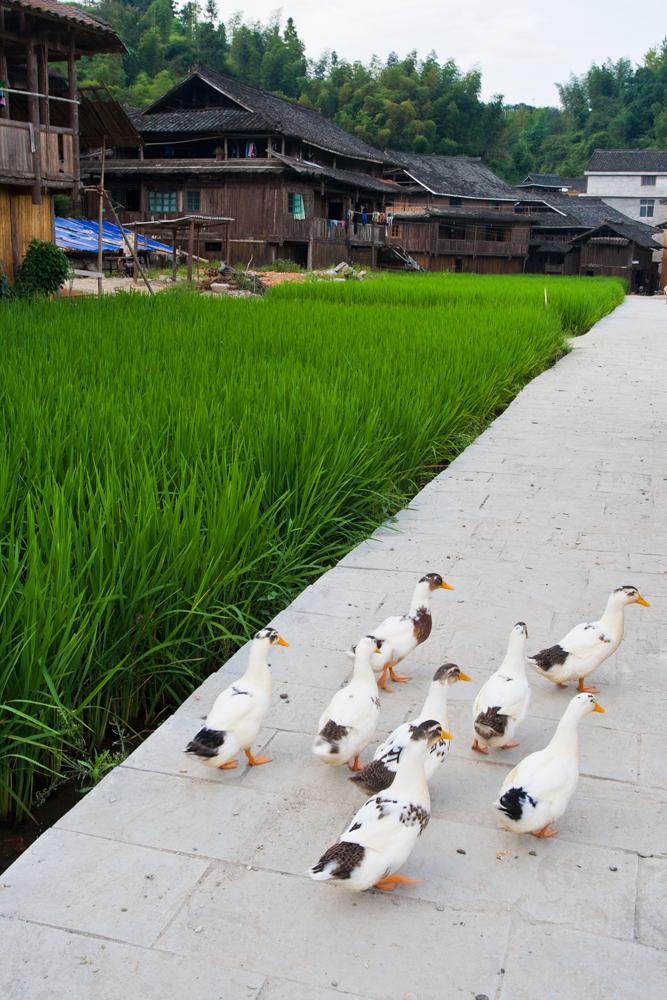 Patos-callejeros
