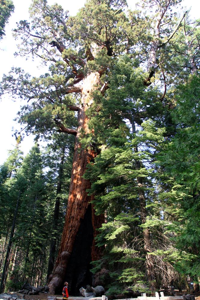 Persona-y-Sequoia-Grizzlie