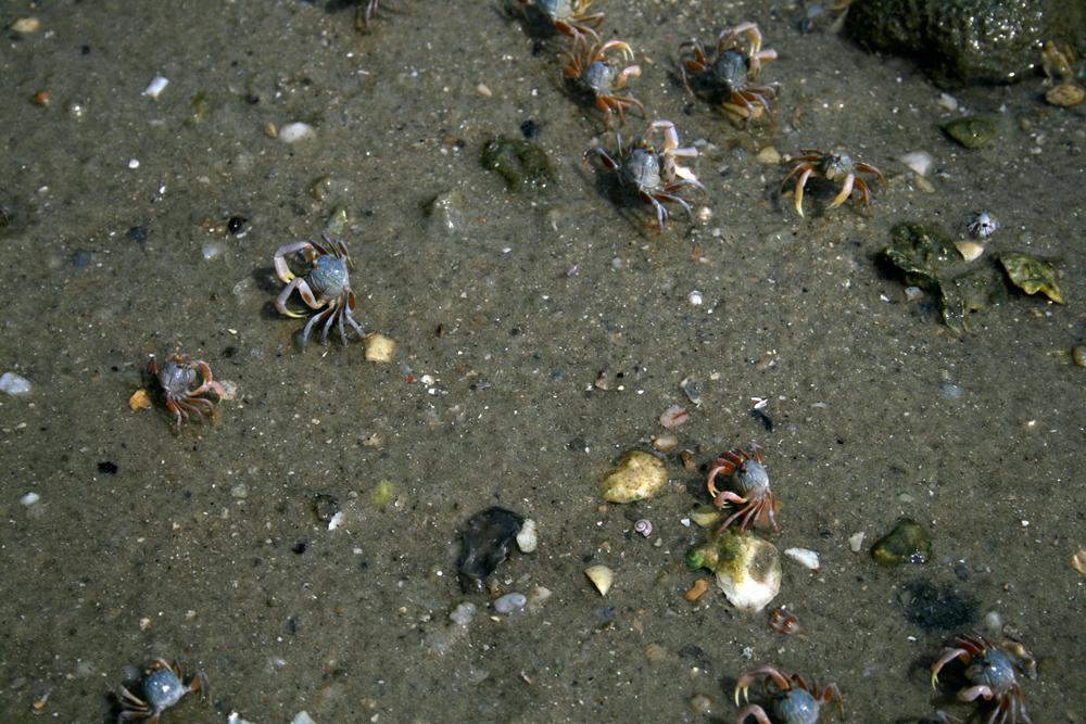 Procesión-de-cangrejos