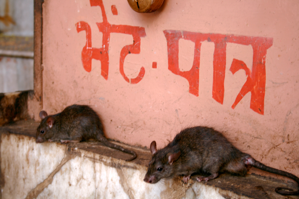 Bikaner y el templo de las ratas
