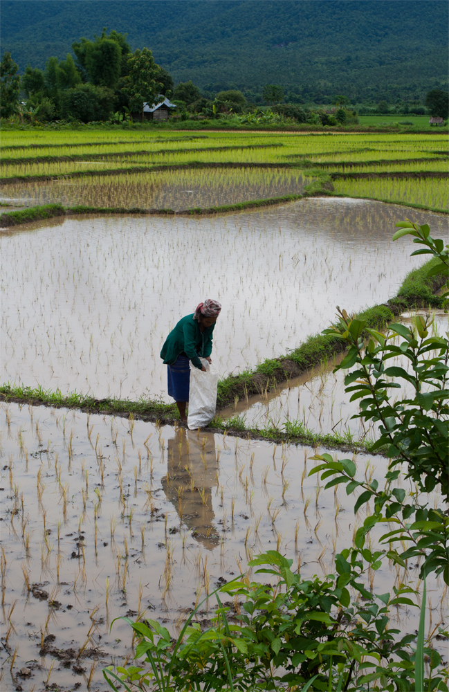 Recolección-de-arroz