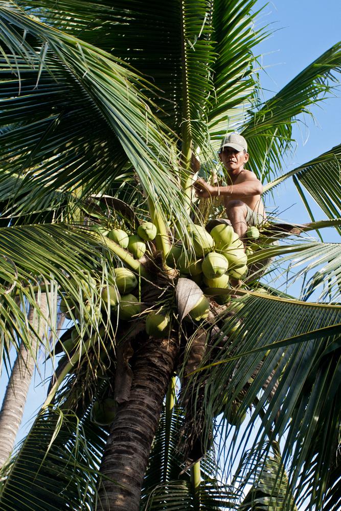 Recolector-de-cocos