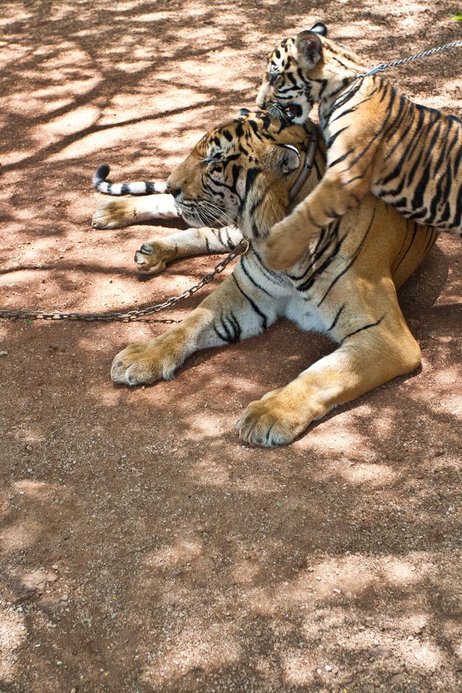 Tiger-Temple-III