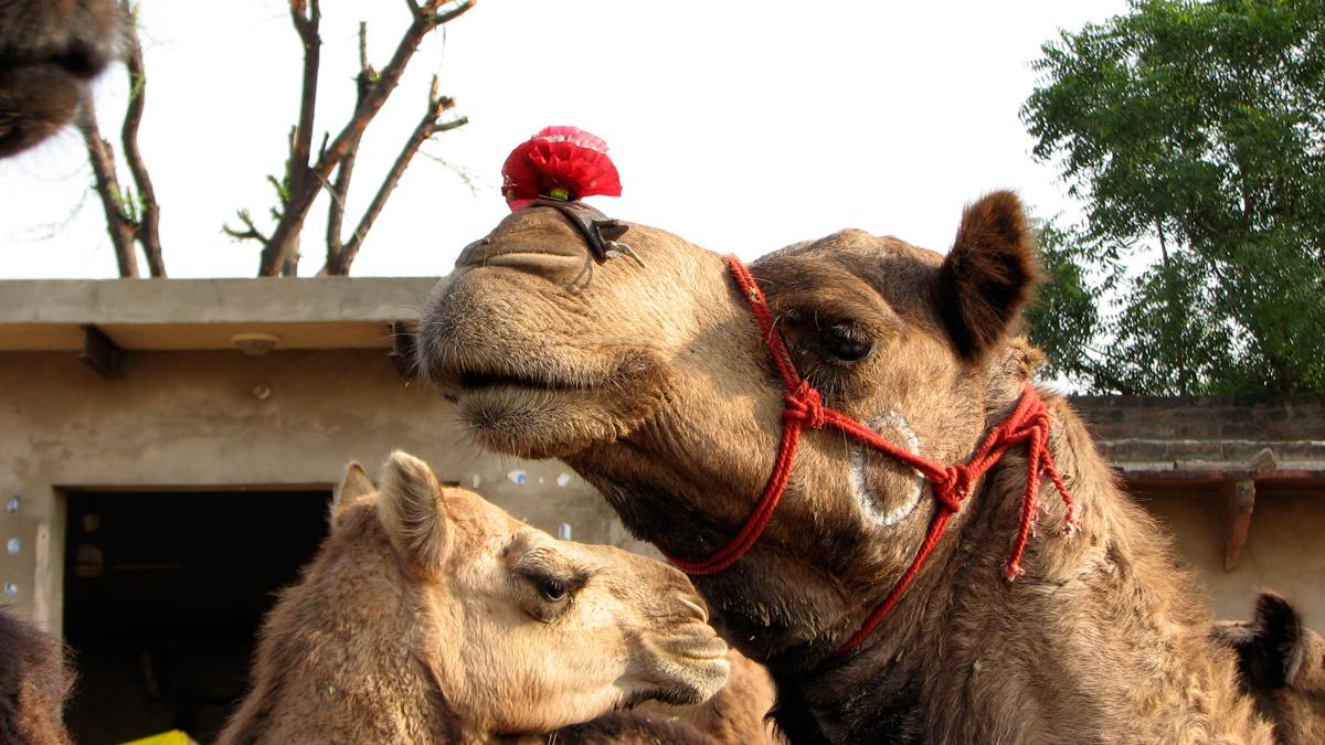 Un-camello-con-pompom