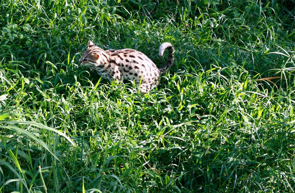 Un-gato-leopardo
