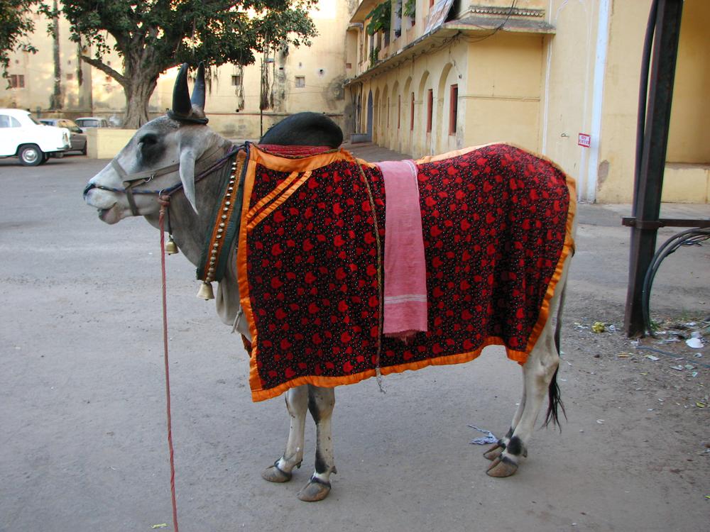 Una-vaca-engalanada