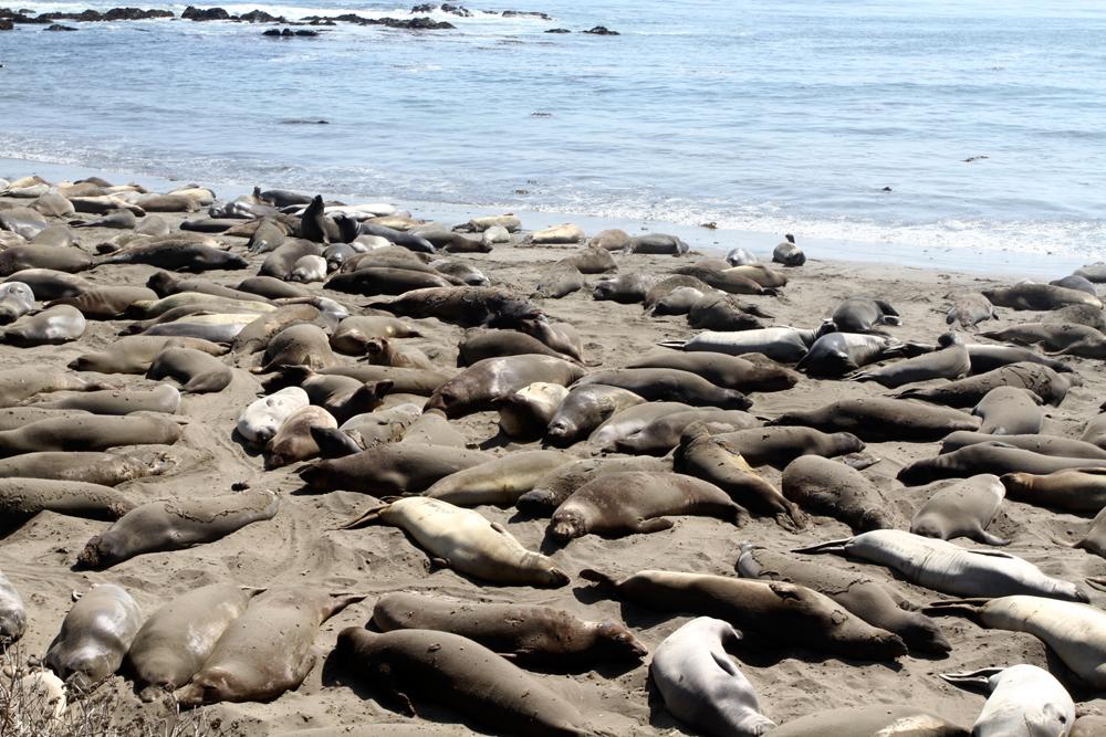 Colonia-de-lobos-marinos