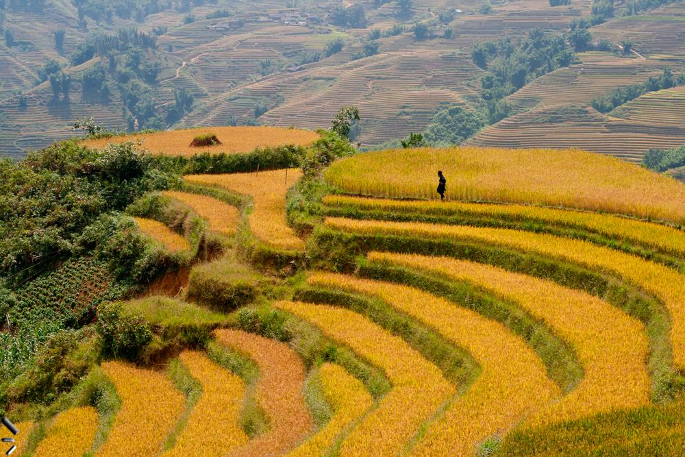 Arrozales-en-la-región-de-Sapa-de-Vietnam