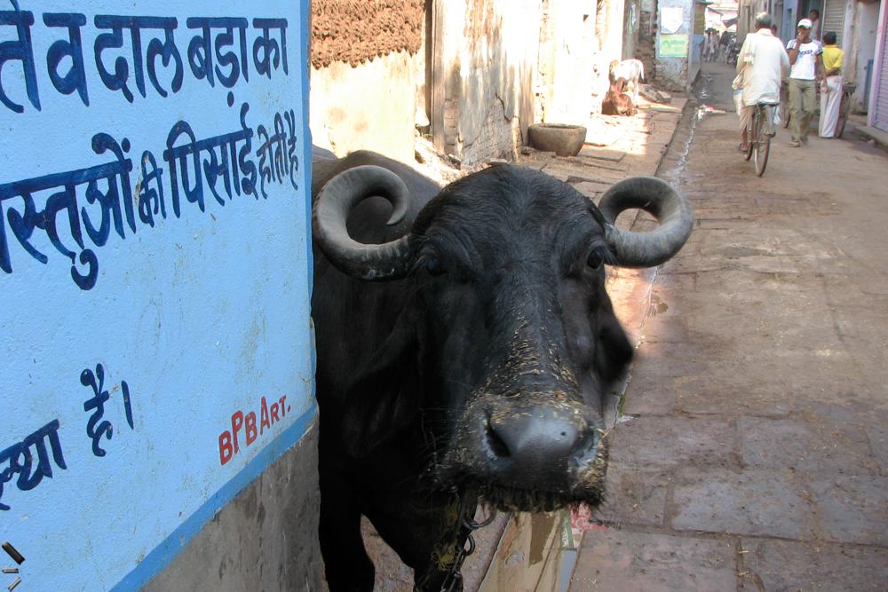 Buey-en-Varanasi-India