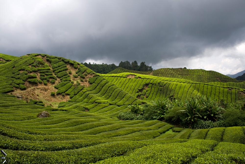 Campos-de-té-de-Cameron-Highlands-en-Malasia