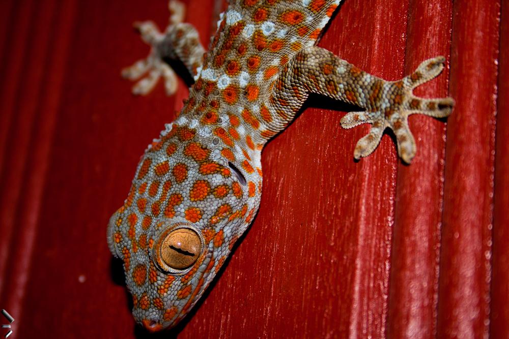 Colorido-gecko-en-las-Islas-Perhentian-de-Malasia