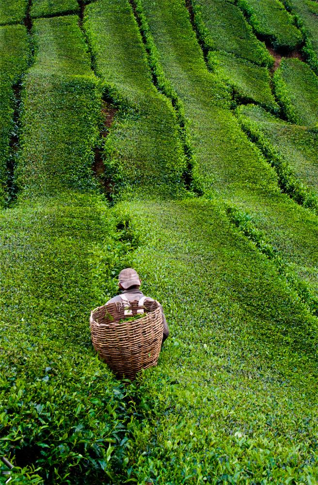 Recolectando-té-en-Malasia