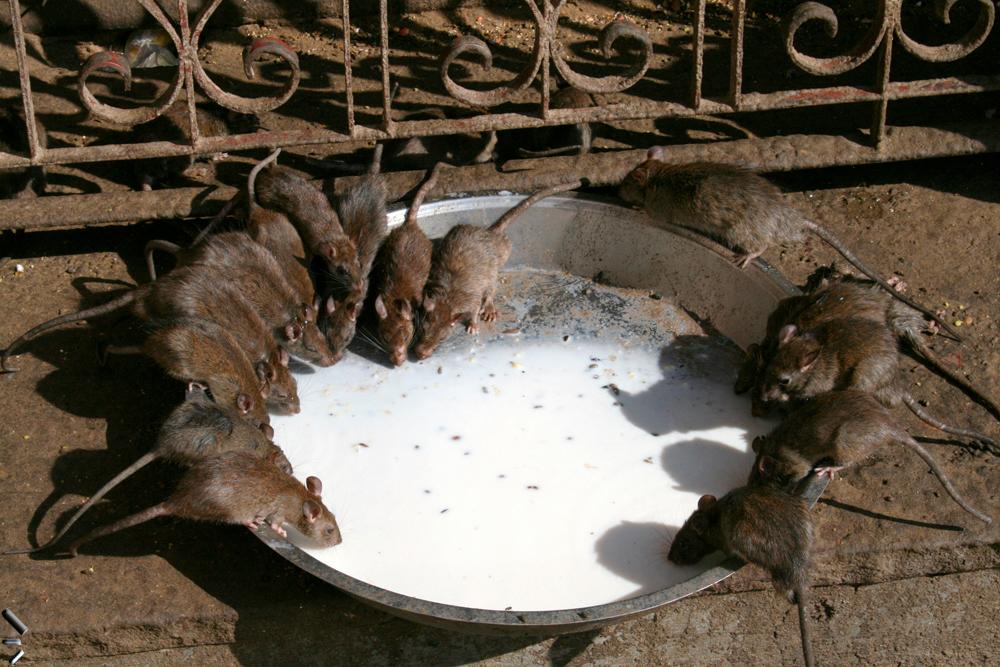 Templo-de-las-ratas-de-Bikaner-en-India