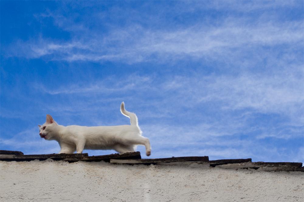 Gato-granaino