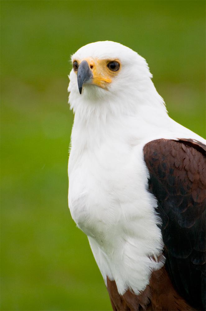 Pigargo-africano-vocinglero-o-águila-pescadora